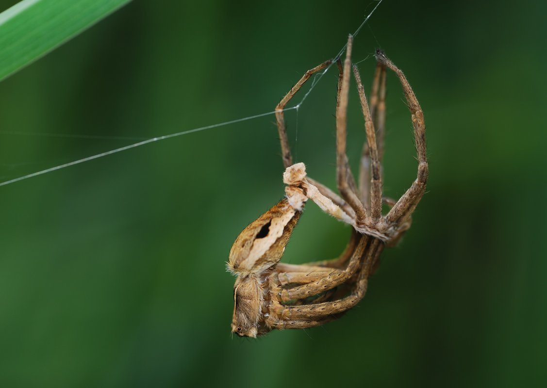 Линька паука-птицееда: как часто проходит и сколько длится