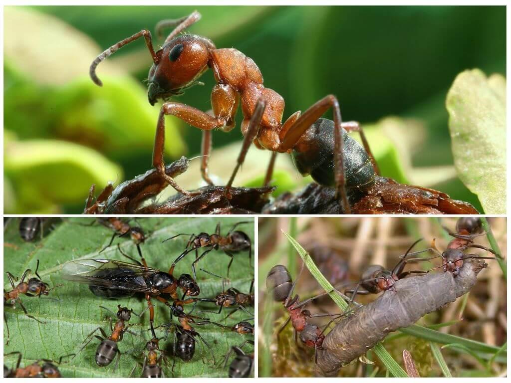 Летающие муравьи: кто такие и методы борьбы