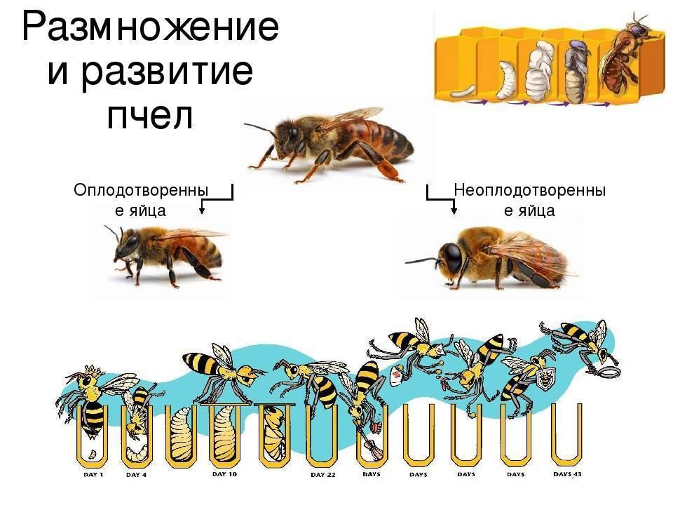 Пчелиная семья: сколько пчел, состав, обязанности, устройство, деление и их функции