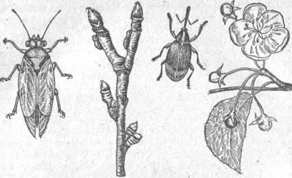 Грушевая медяница: фото, описание, меры борьбы, чем обработать