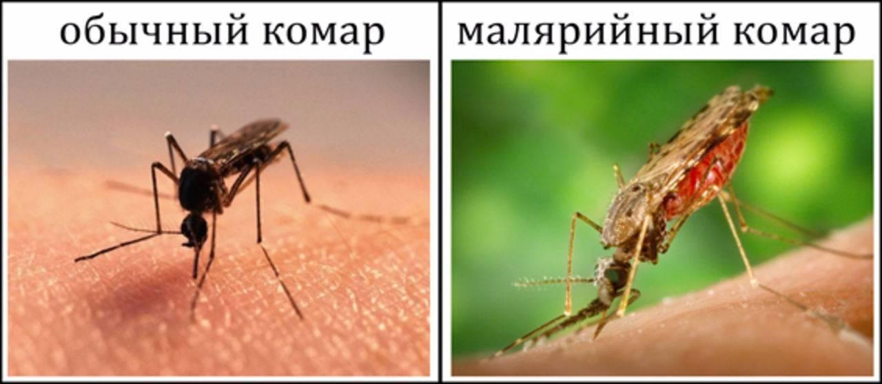 Чем опасен малярийный комар: пути заражения, симптомы и последствия укусов