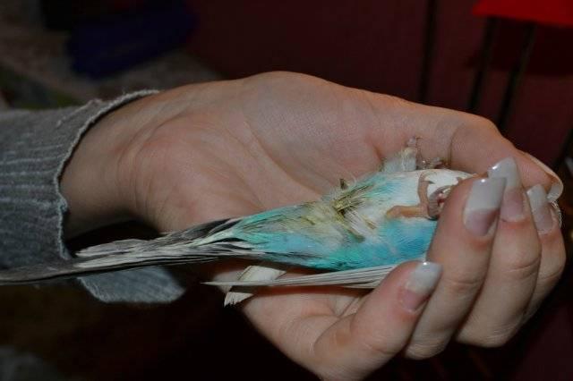 Блохи у птиц: признаки паразитирования и опасность для пернатого