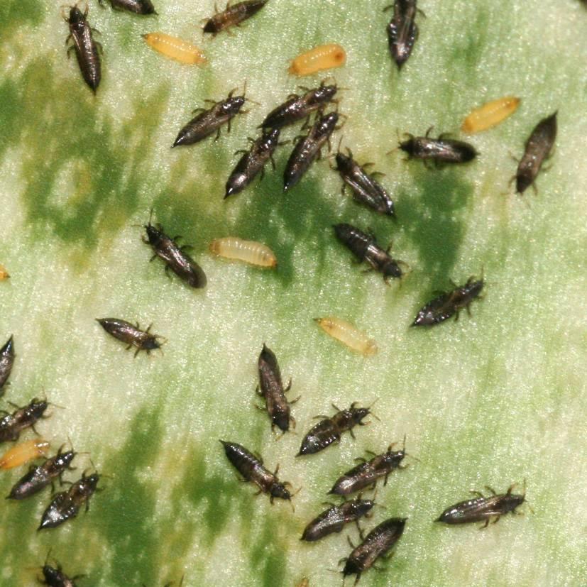 Виды трипсов и методы борьбы с вредителями