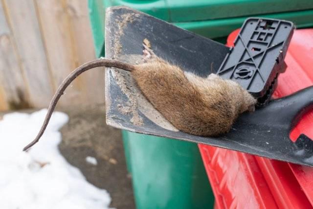 Как избавиться от запаха дохлой крысы под полом - сорнякам нет