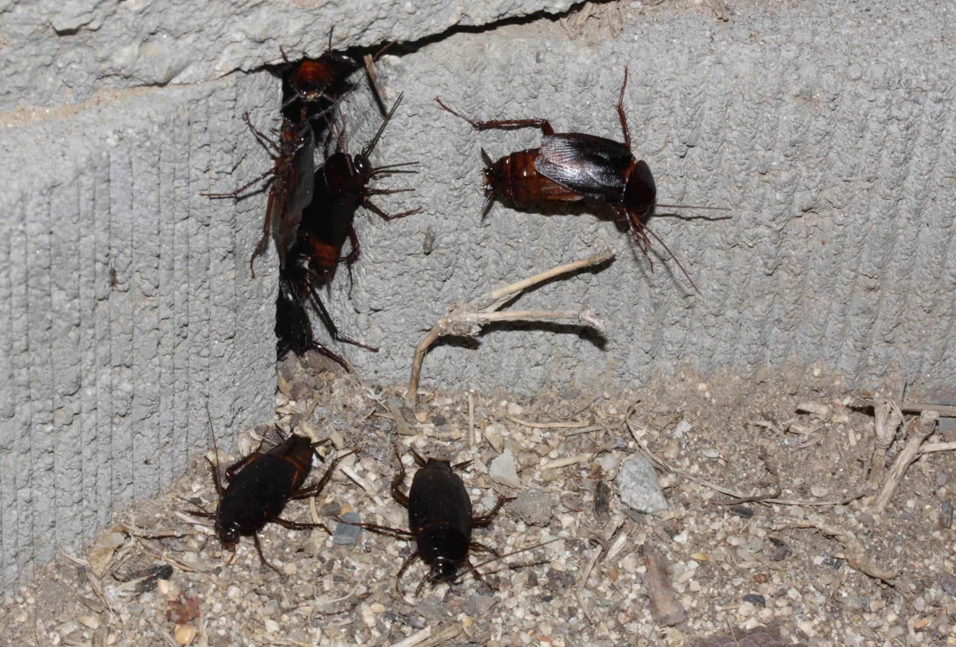Черные тараканы в квартире как избавиться от паразитов навсегда?