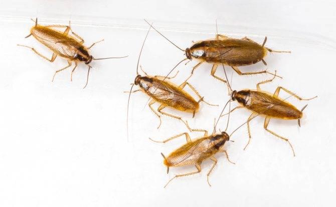 От чего в квартирах появляются тараканы: основные причины и условия