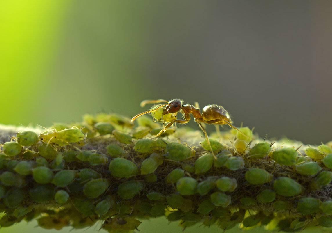 Тип взаимоотношений муравьёв и тли