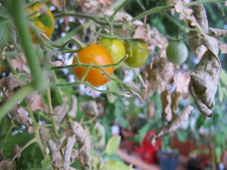 Паутинный на томатах