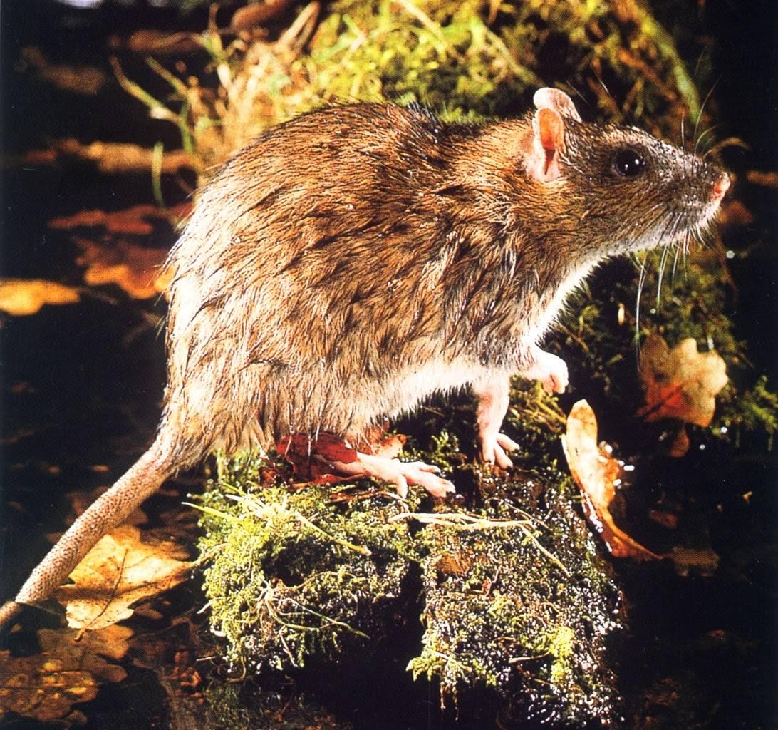 Все, что нужно знать о крысах