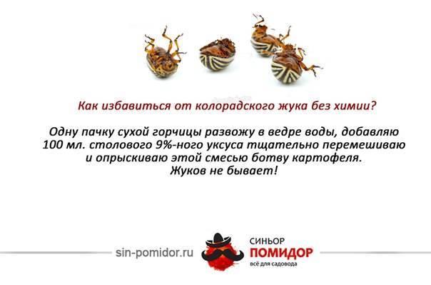 Горчица и уксус от колорадского жука – борьба народным средством