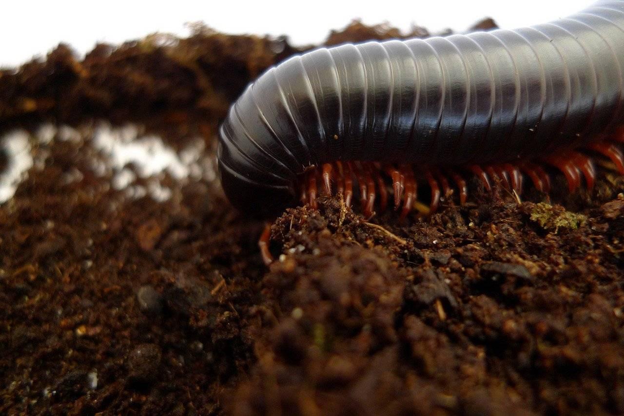 Кивсяки: домашние питомцы или опасные садовые вредители?