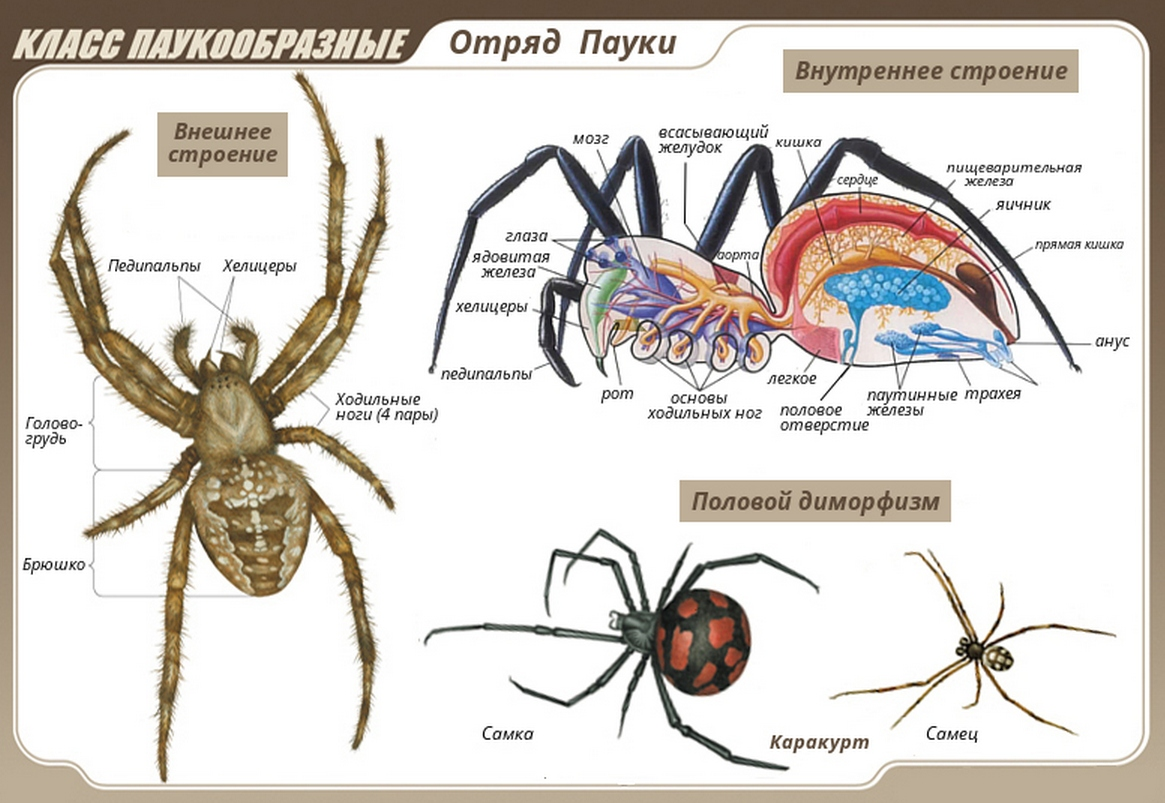 Какие особенности строения и поведения паука-крестовика