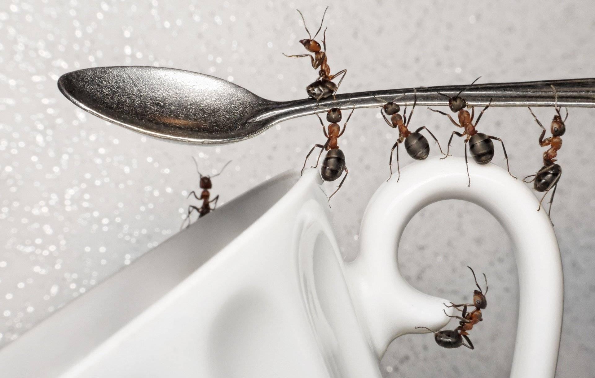 Красные муравьи в доме доме. как и чем с ними бороться? / как избавится от насекомых в квартире