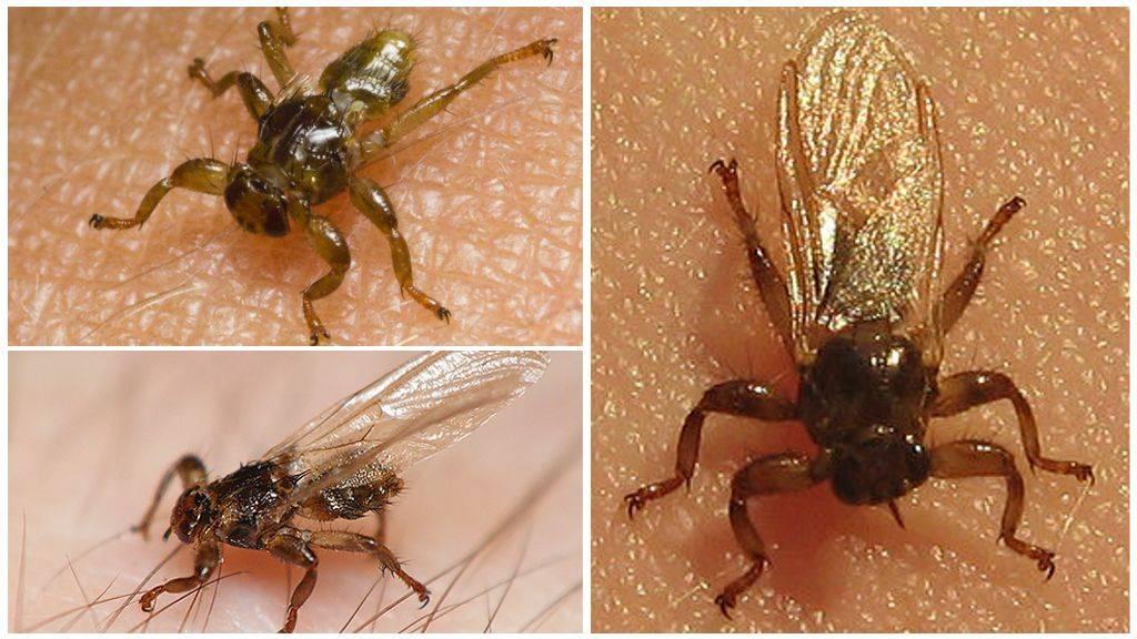 Лосиные вши - опасные насекомые для крупных животных