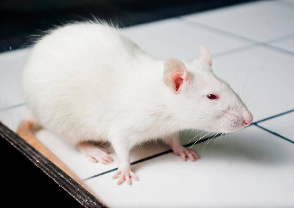 Как видят крысы в темноте и при свете, особенности поведения