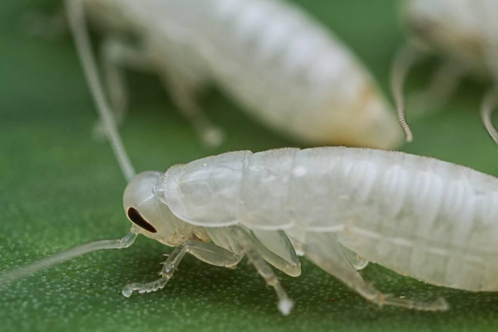 Белый таракан в квартире