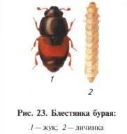 Суринамский мукоед