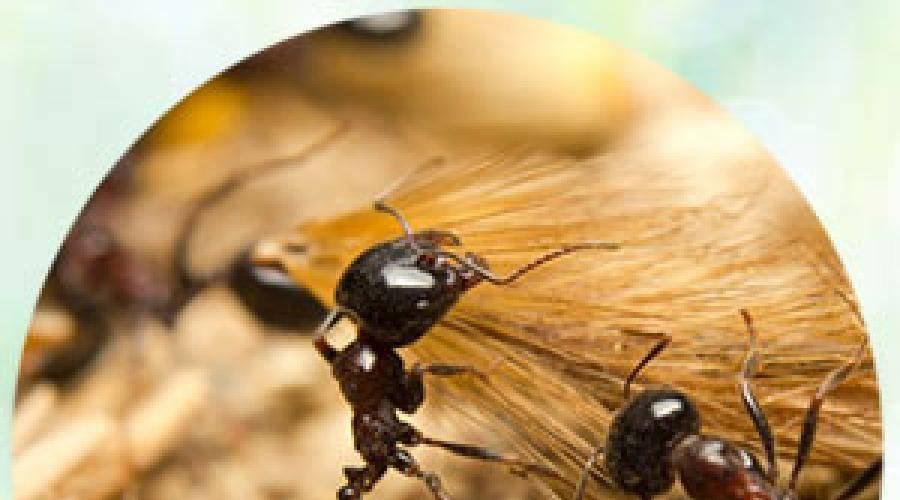 К чему снятся  муравьи во сне — по 90 сонникам! если видишь во сне муравьи что значит?