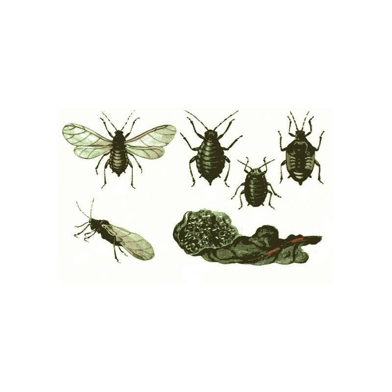 Свекловичный долгоносик: виды вредителей и методы борьбы