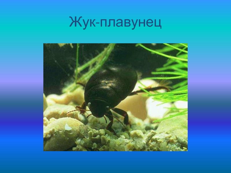 Чем кормить жука плавунца в домашних условиях