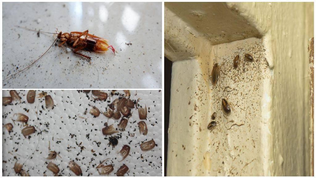 Сколько живут домашние тараканы без еды, воды и головы. что едят тараканы в квартире