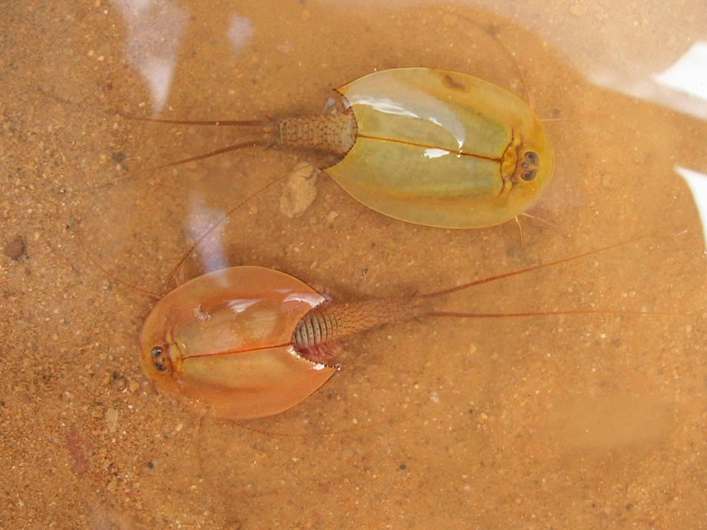 Аквариумные тритоны :уход,содержание,описание,размножение,фото,видео.