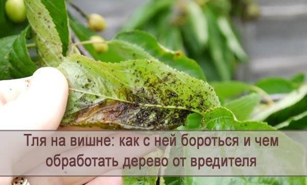 Муравьи на вишне: как избавиться, что делать, чем обработать муравьи на вишне: как избавиться, что делать, чем обработать