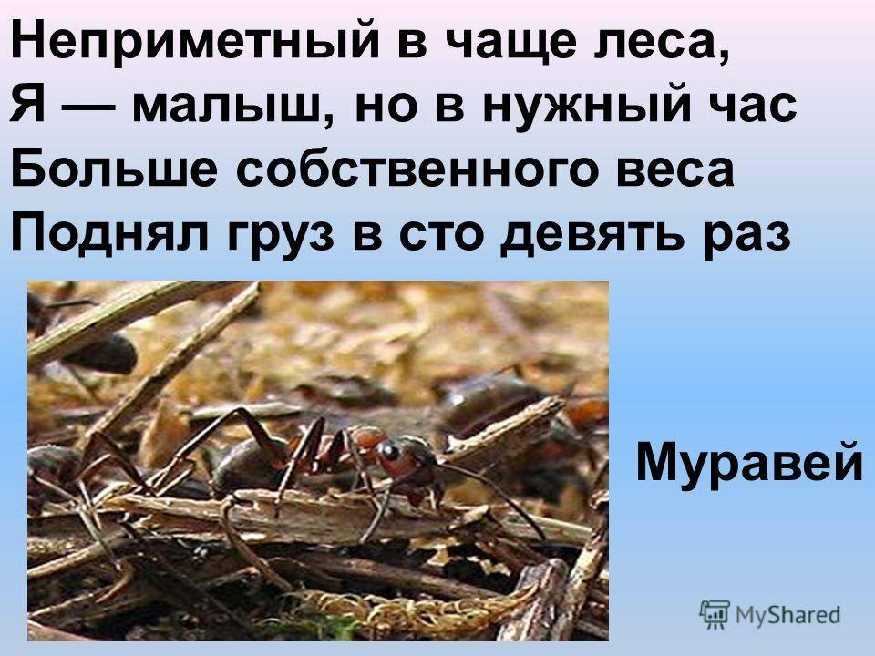 Лесные работяги, сколько живет муравей или немного об устройстве муравьев
