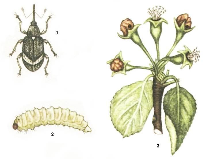 Яблоневый цветоед: среда обитания, средства борьбы, профилактические меры