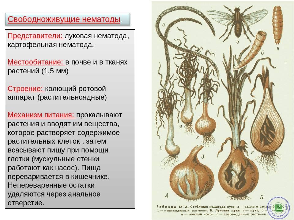 Нематода картофеля как бороться: виды, описание, лечение болезни, профилактика, фото