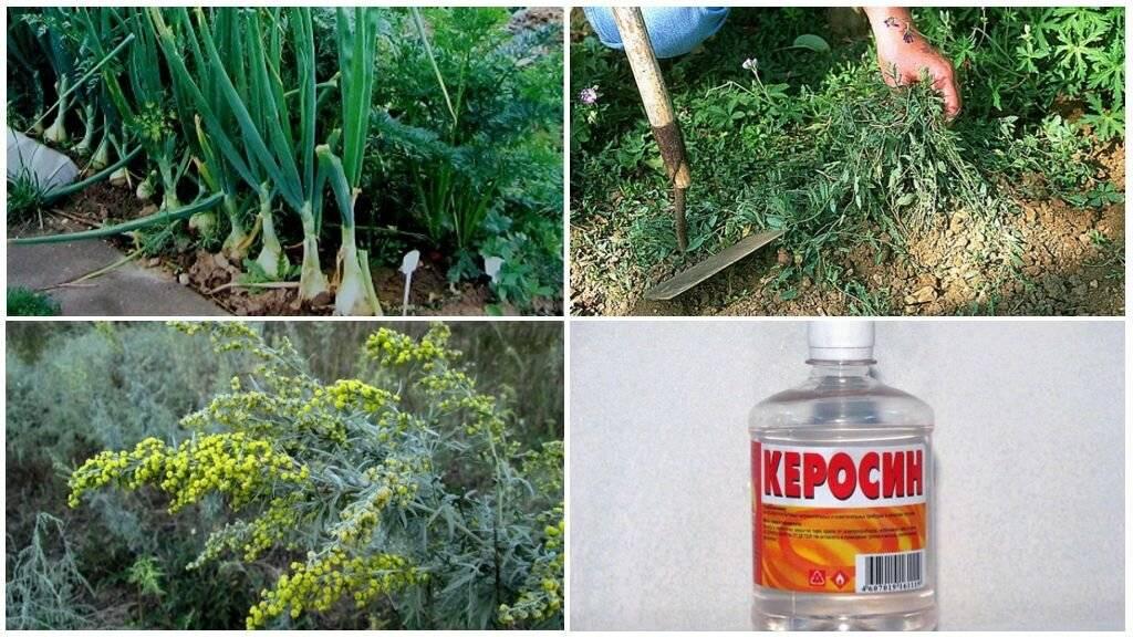 Как избавиться от морковной мухи: методы борьбы народными средствами, химическими препаратами