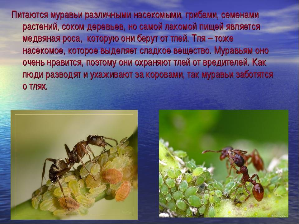 Стадия развития муравья по схеме