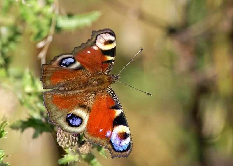 Бабочка «павлиний глаз»— порхающее чудо!