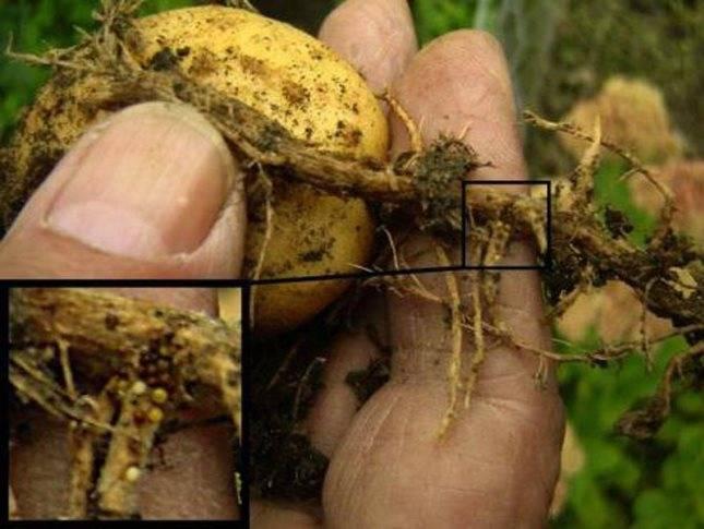 Картофельная нематода: признаки с фото, как бороться, опасность для человека