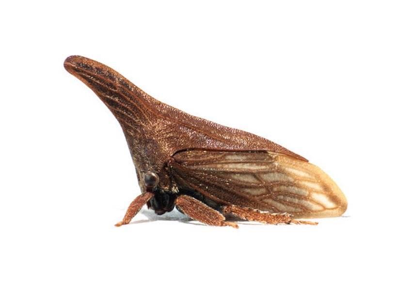 Горбатка насекомое. горбатка – насекомое с замысловатой внешностью