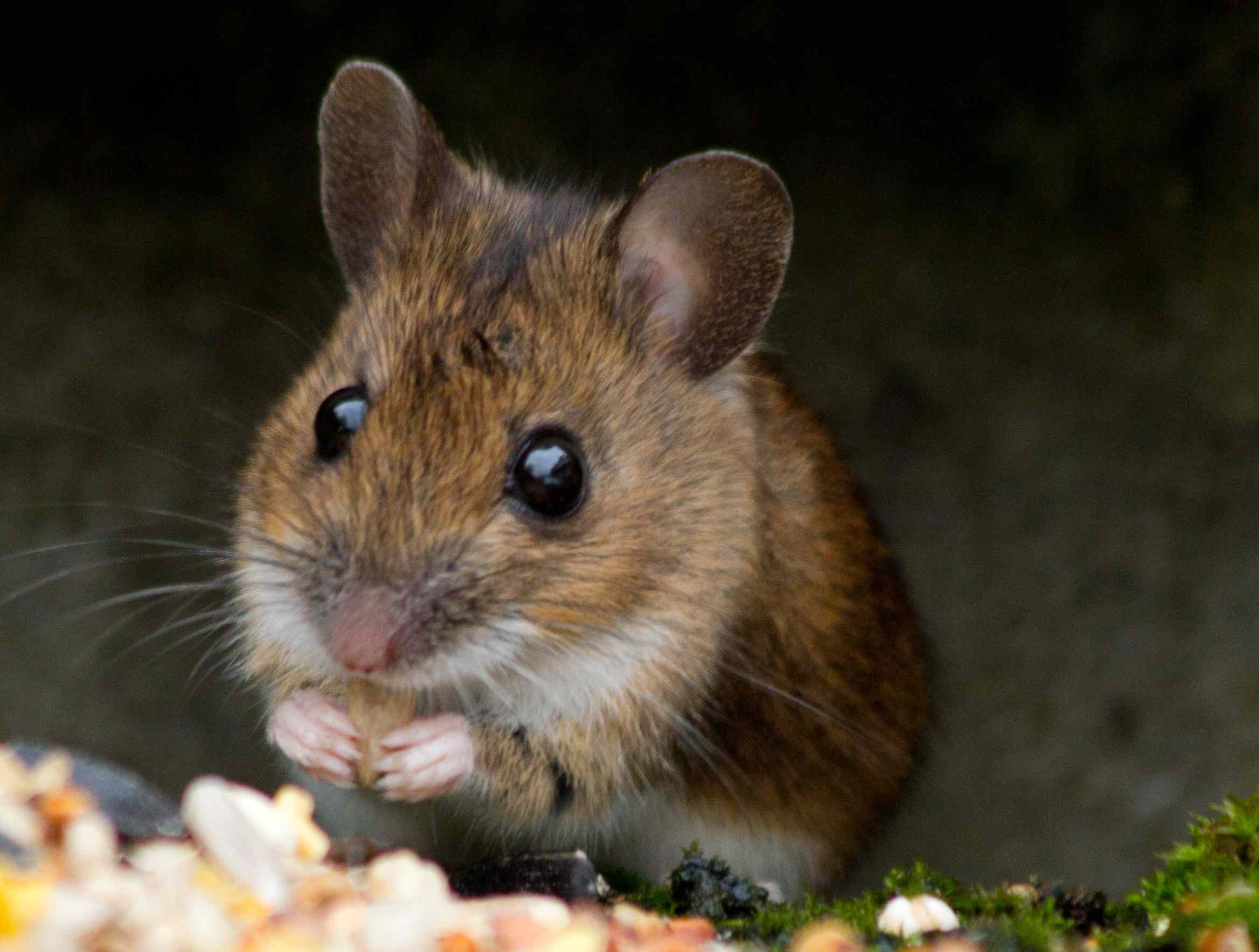 Что едят мыши в домашних условиях, состав сбалансированного рациона 2021