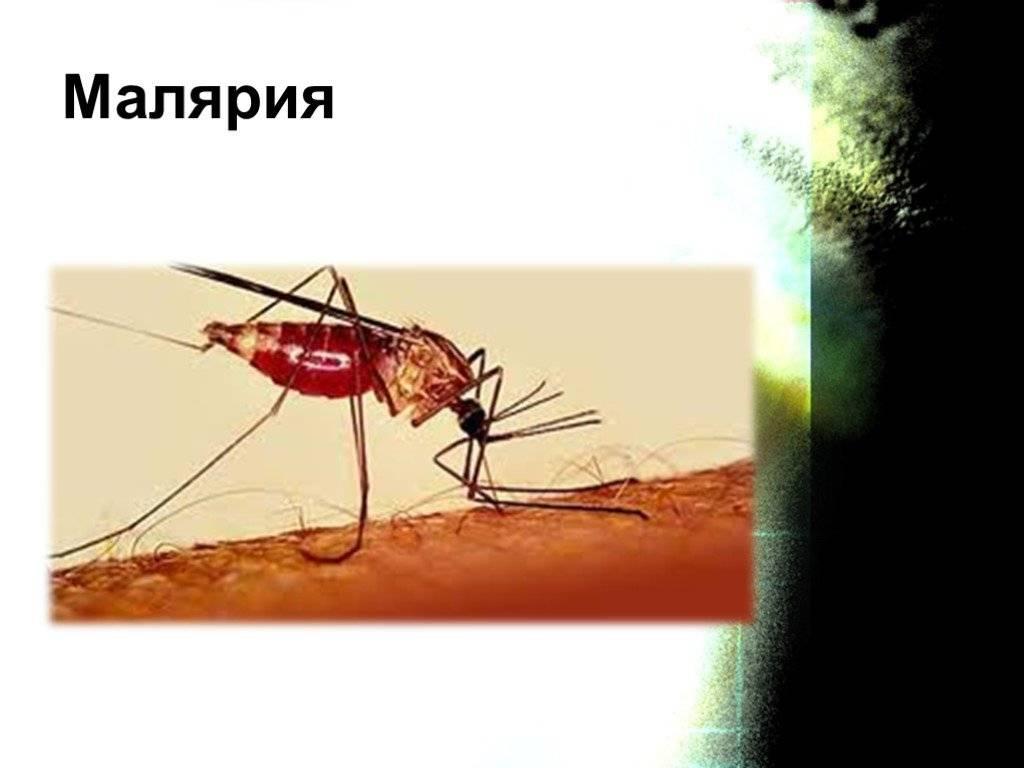 Малярийный комар (самка): фото как выглядит, чем опасен и где обитает