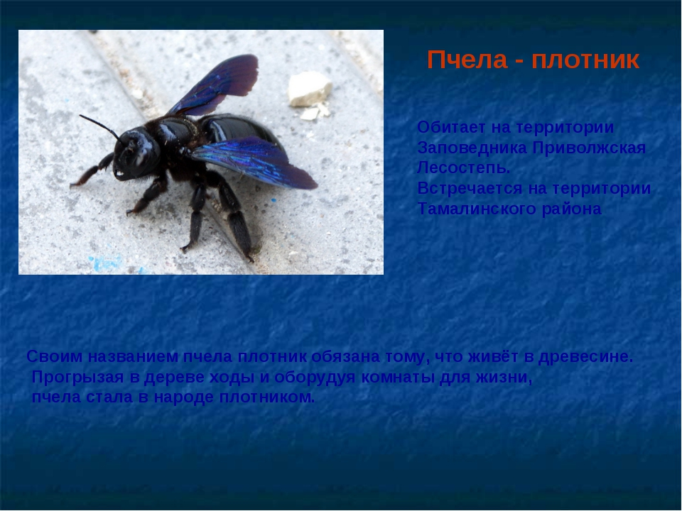 Черная пчела