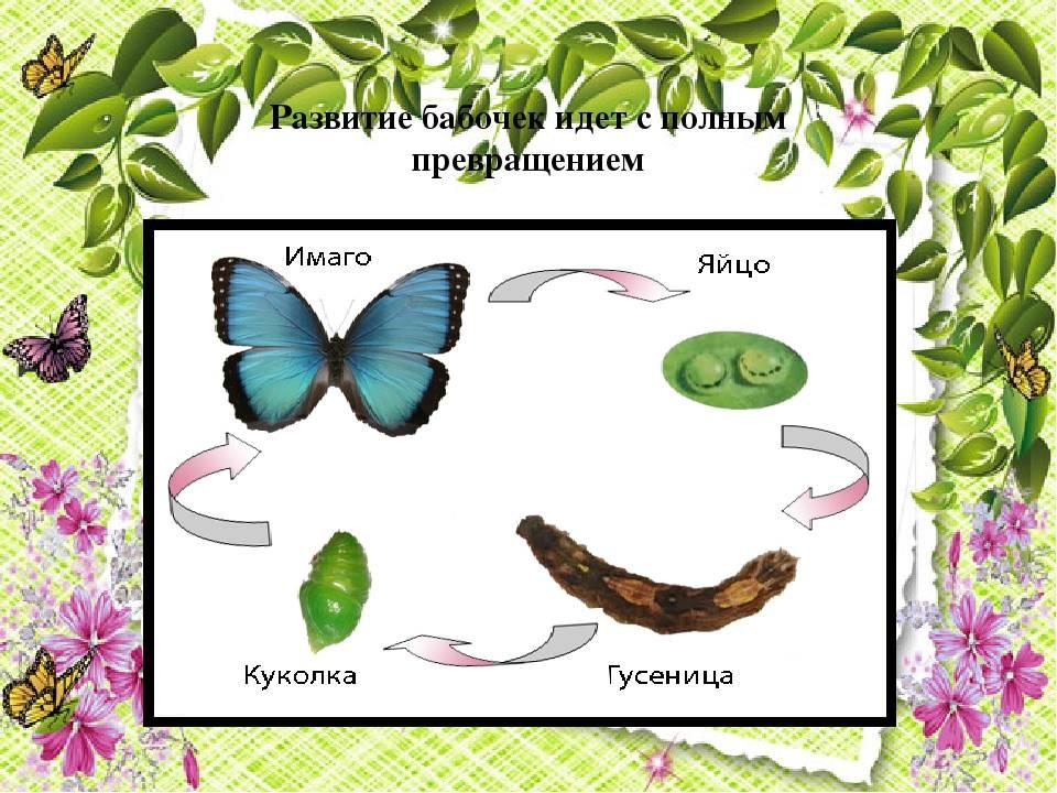 Научно-исследовательский проект «исследование процесса превращения гусеницы в бабочку в домашних условиях»