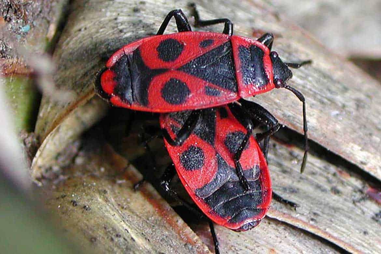Клоп-солдатик: описание жука, наносимый им вред и методы борьбы с ним