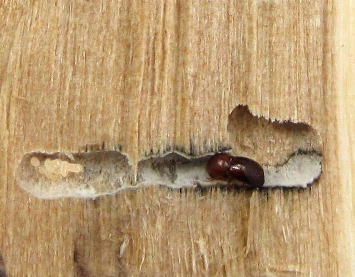 Как избавиться от жука-точильщика: как определить вредителя, какие виды существуют, как бороться с ним при помощи инсектицидов и народных средств, профилактика появления