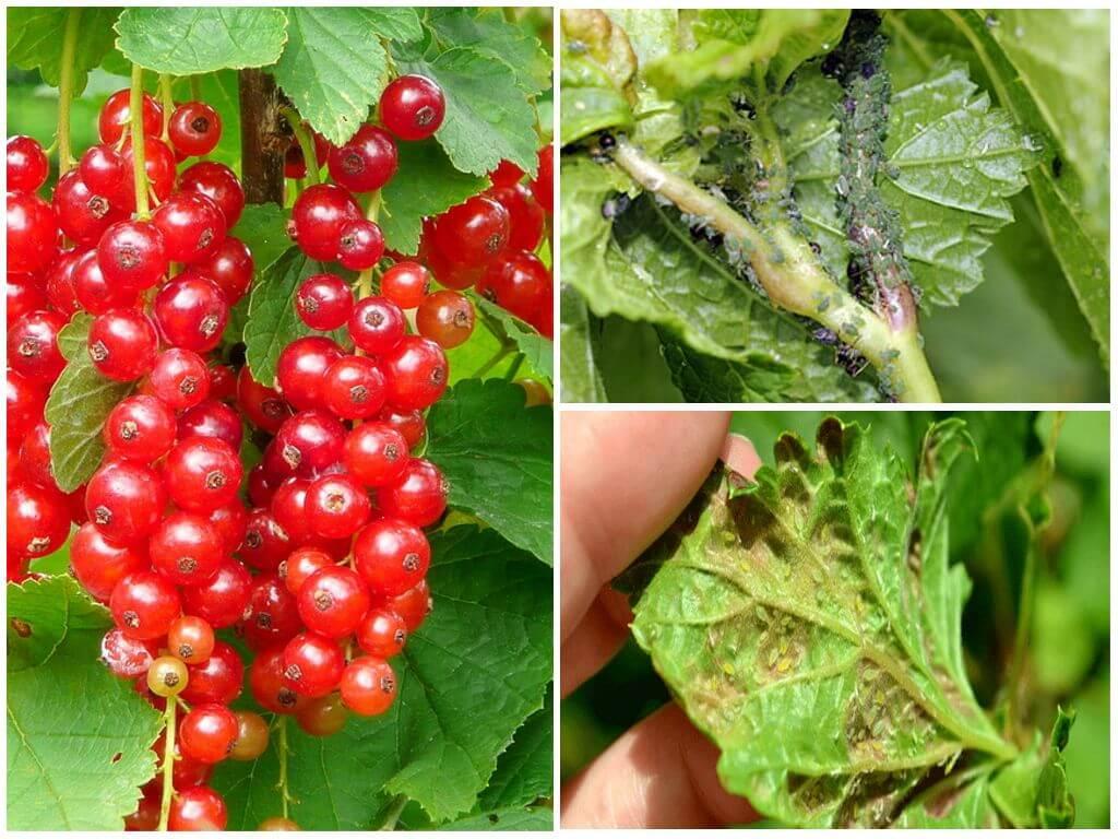 Муравьи и тля на смородине — как от них избавиться, методы профилактики, способы обработки листьев