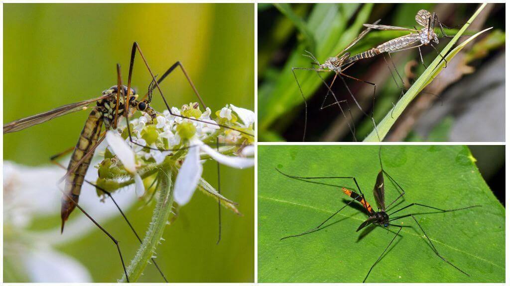 Зачем нужны комары: какая польза для природы, влияние комариных укусов