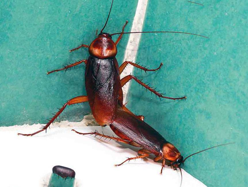 Как размножаются тараканы – полезные знания для борьбы с насекомыми