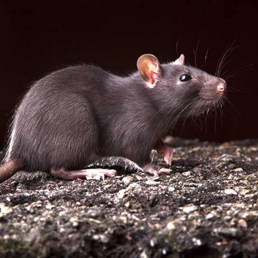 Виды и разновидности крыс - серые пасюки, лесные и другие
