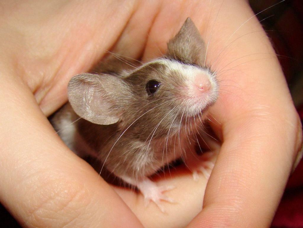 Сколько мышей рождается за один раз, как часто плодятся, сколько мышат в выводке у одной домовой мыши, сроки вынашивания детёнышей