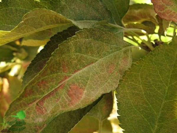 Паутина на яблонях – как бороться с вредителями
