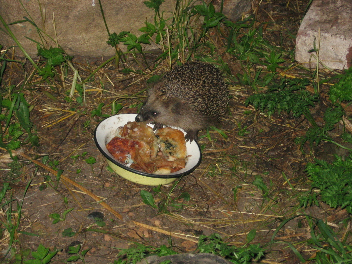 Ежи едят мышей или нет. Чем питается ёжик?