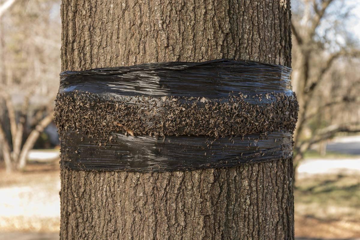 Ловчий пояс от муравьев: инструкция по изготовлению