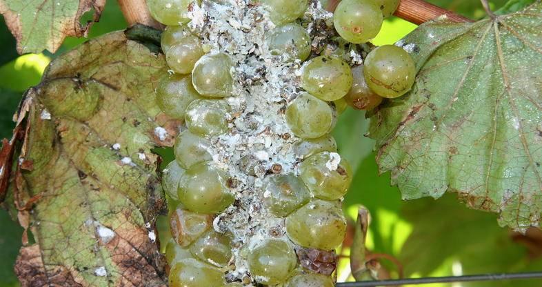 ✅ чем обработать виноград от тли: народные средства и популярные препараты - tehnomir32.ru